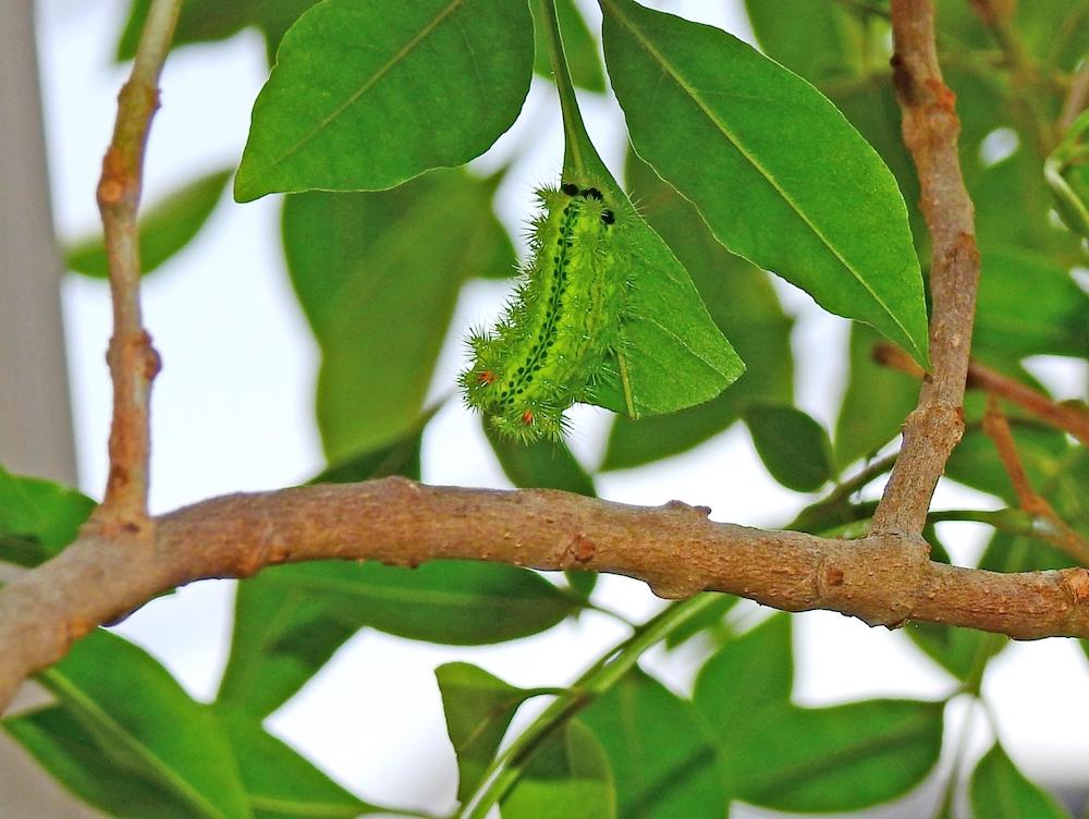 ヒロヘリアオイラガ幼虫